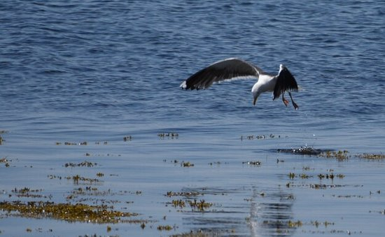 Nova Scotia South Shore, Kanada: Gull fishing off shore, Blandford, NS