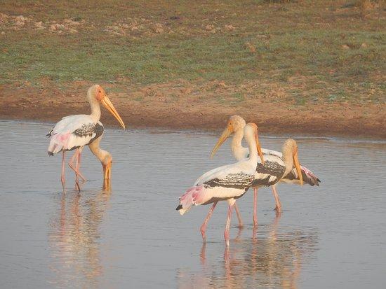 Sam Veasna Center for Wildlife Conservation (SVC): Painted Storks at Bengal Florican Grasslands