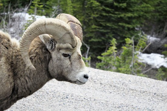 Athabasca Glacier Snow Trip from Banff: We saw this ram on the way up. It was a beautiful sight.