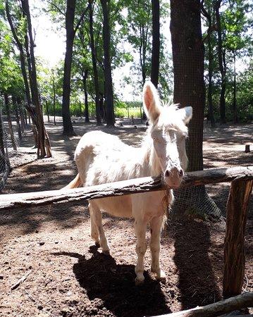 Pamhagen, Austria: weisser Esel