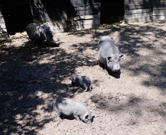 Pamhagen, Austria: Wildschweine