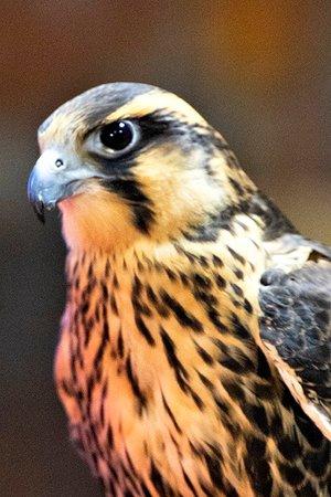 Lillington, Βόρεια Καρολίνα: falcon04_sm_large.jpg
