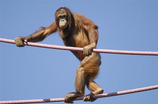 Semonggoh Orangutan Rehabilitation...