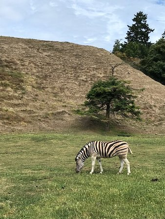 Olympic Game Farm Bus: Zebra just liked grass today