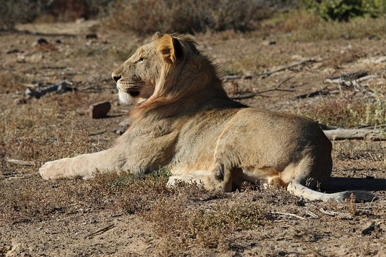 Kwandwe Private Game Reserve, Sudáfrica: Up close and personal with a Lion