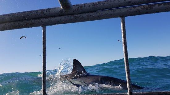 Kleinbaai, South Africa: magnifica visão do animal aquático