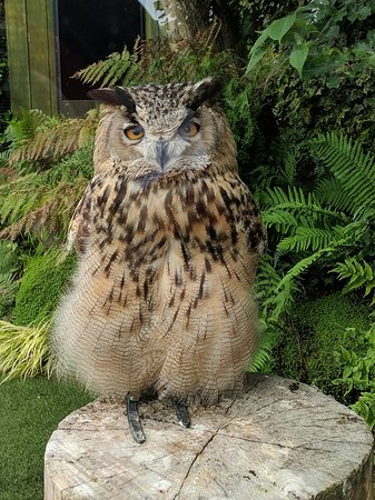 Tropical Butterfly House, Wildlife & Falconry Centre: Thor the Turkmenian Eagle Owl who greets you when you arrive