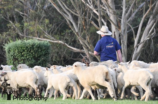 The Hills Shire, Australia: Nick, our Stockman mustering sheep