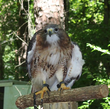 Carolina Raptor Center: Red Tail