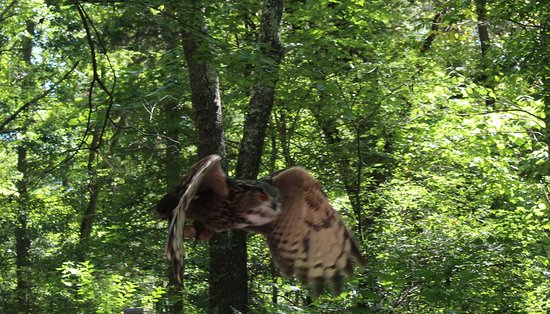 Carolina Raptor Center: EurAsian Eagle owl