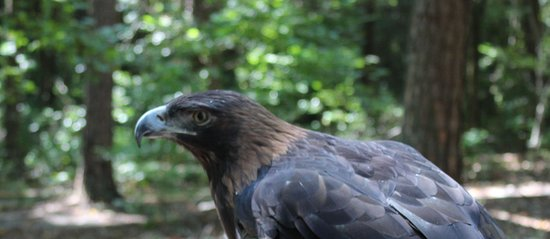 Carolina Raptor Center: Golden Eagle