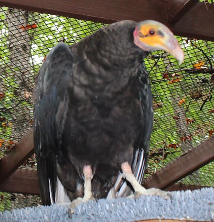 Carolina Raptor Center: Lesser Yellow vulture