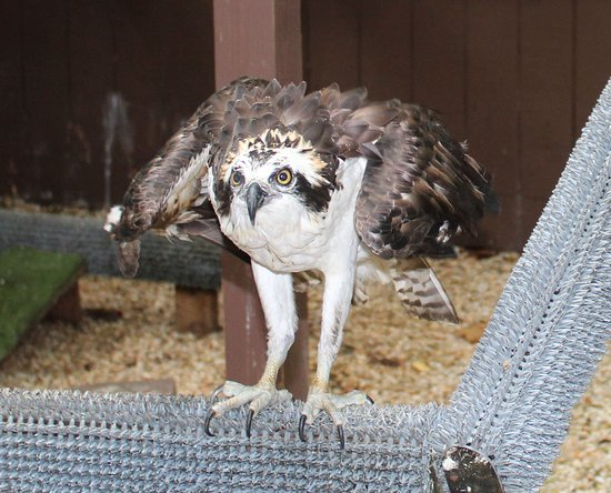 Carolina Raptor Center: OSprey