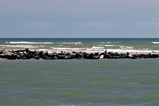 Newburgh, UK: Seal colony at the River Ythan estuary.  Aberdeenshire