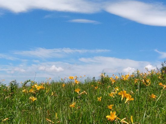 Kirigamine Fujimidai: 綺麗に咲いたニッコウキスゲ