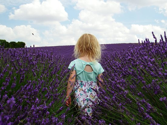 Hitchin Lavender照片