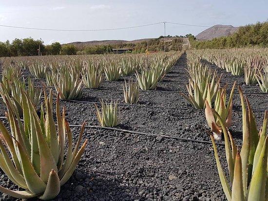 Finca Canarias Aloe Vera: Aloe vera