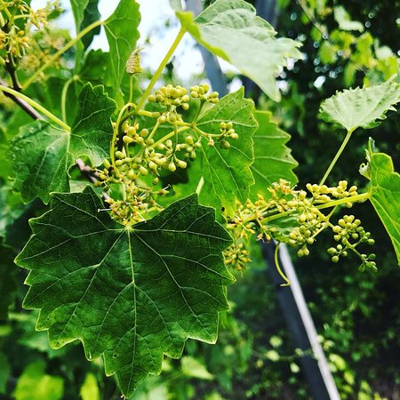 Clarksville, Вирджиния: Baby Scuppernong grapes
