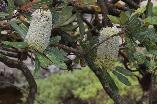 Mount Victoria, Australia: A plant nearby the lookout