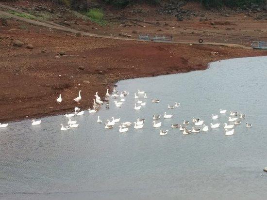 Ducks at pavana lake