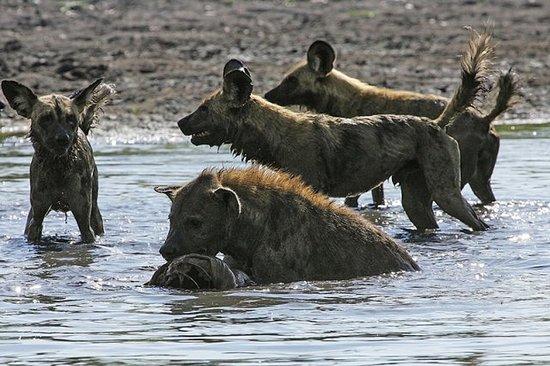 Maun, Botswana: Wild dogs
