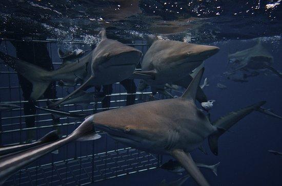 Morningside, แอฟริกาใต้: Shark Cage Diving Durban