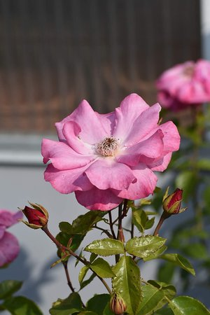 "Foldereid, Νορβηγία: Rosebush ""Romanze"""