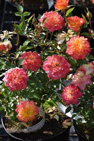 "Foldereid, النرويج: Rosebush ""Mini Mandarin"""