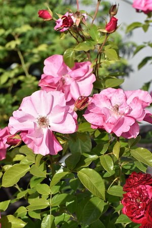 "Foldereid, النرويج: Rosebush ""Romanze"""