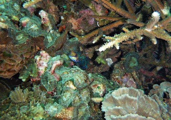 Alor Divers Eco Resort : Plongée (site mandarin slope)