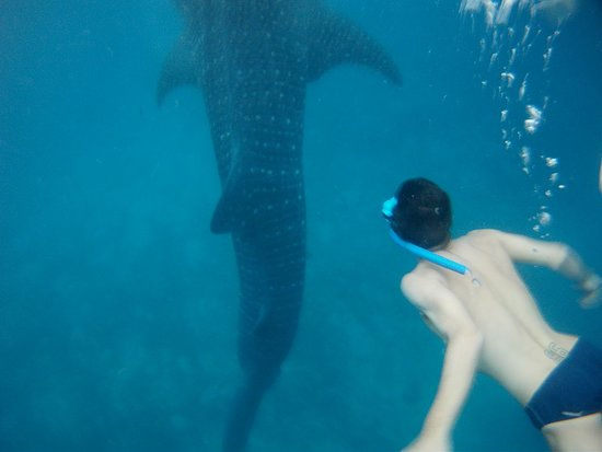Oslob Whale Sharks: PICT0375_large.jpg