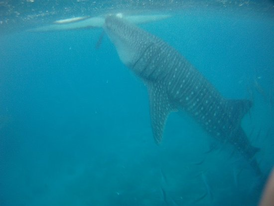Oslob Whale Sharks: PICT0315_large.jpg