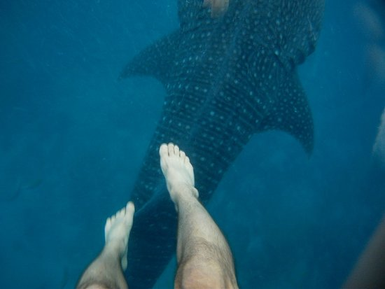 Oslob Whale Sharks: PICT0289_large.jpg