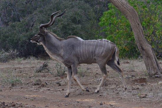 "Northern Tuli Game Reserve, Botswana: Kudu, the ""Grey Ghost"""