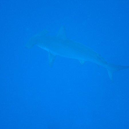 Lahaina Divers: Hammerhead dive was fabulous.