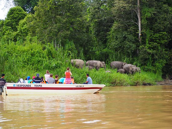 Sukau Rainforest Lodge: Afternoon cruise sighting of a family of elephants