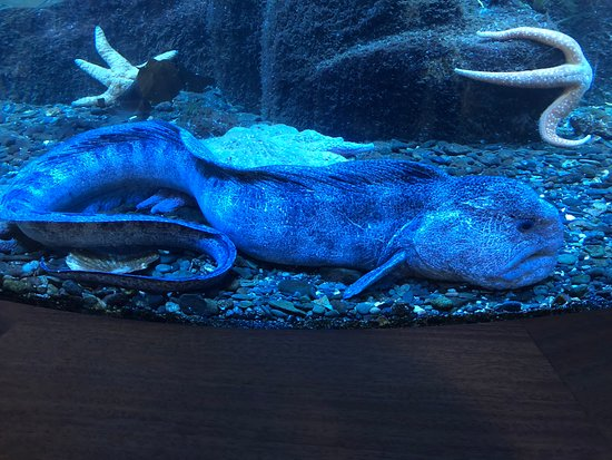 DIPAC's Macaulay Salmon Hatchery: Wolfie the Eel in aquarium in visitor's center.