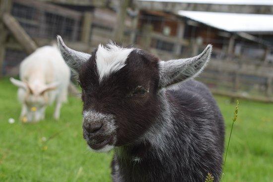 Kington, UK: Very cute pygmy goat kid