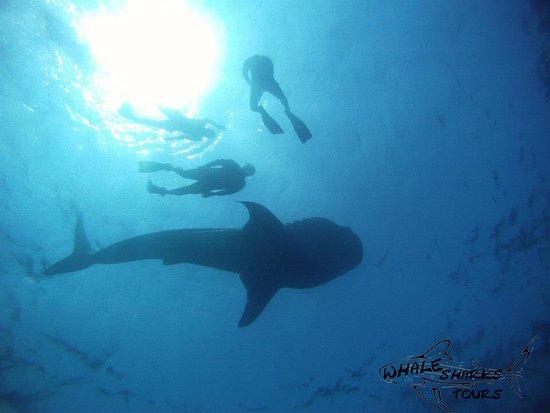 Whale Sharks Tours