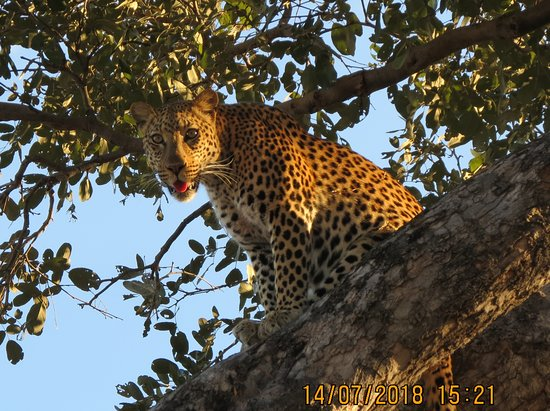 Khwai Tented Camp- African Bush Camps: leopard in a tree