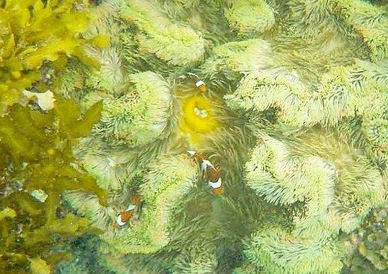 German Island: clown fishes