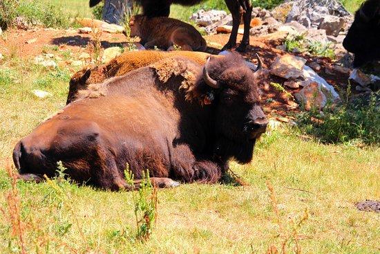 bisons picture of randals bisons lanuejols tripadvisor
