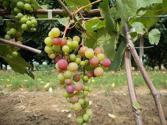 Cmielow, Poland: Dojrzewające w słońcu winogrono