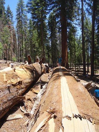 Ponderosa, CA: sequoia au sol