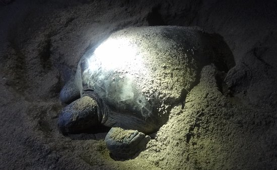 Pulau Selingan, Malaysia: A very tired mother after hatching her 60 eggs