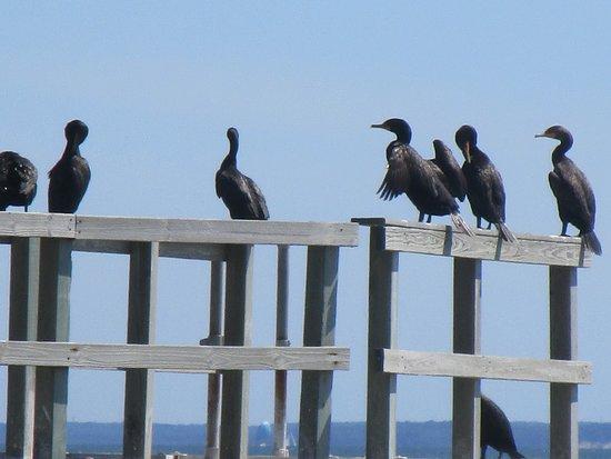 Peconic Cruise Line: Cormorants