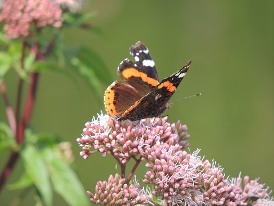 Yarrow Valley Country Park: Red Admiral Butterfly
