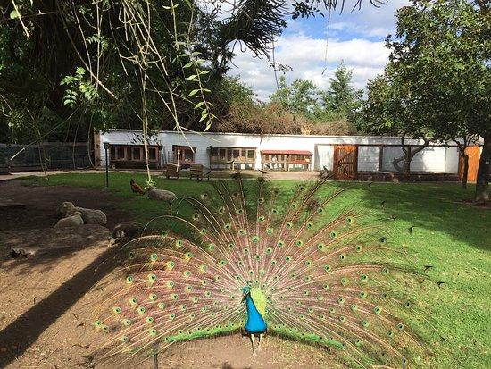 Puembo, Ecuador: Peacock