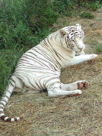 Living Treasures Animal Park: tiger snoozing in the corner
