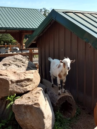 Living Treasures Animal Park: lots of goats!